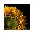 Sunflower Original Signed Mini by Edward Fielding