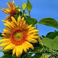 Sunflower Pair by Sue Karski