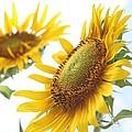 Sunflower Perspective by Kerri Mortenson