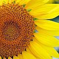Sunflower Petals by Mark Dodd