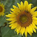 Sunflower by Phyllis Taylor