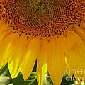 Sunflower Pollen Falls by Mark Dodd
