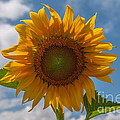 Sunflower Power by Dale Powell