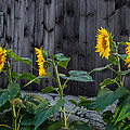 Sunflower Quartet by Bill Wakeley