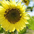 Sunflower by Randy Roberts