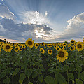 Sunflower Rays Augusta Nj by Terry DeLuco