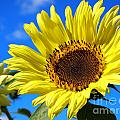 Sunflower Reaching For The Sun by Deborah Fay