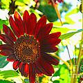 Sunflower - Red Blazer - Luther Fine  Art by Luther Fine Art