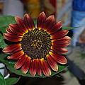 Sunflower by Robert Floyd