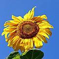 Sunflower by Robert McCulloch