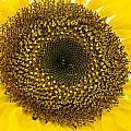 Sunflower by Ross G Strachan