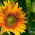 Sunflower Single by Sue Karski