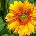 Sunflower Smile by Sue Karski