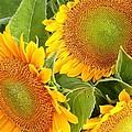 Sunflower Smiles by Kim Bemis