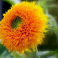 Sunflower Soft by Rosanne Jordan