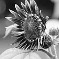 Sunflower by Staci  AJello