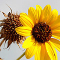 Sunflower Stages by Amy Steeples