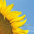 Sunflower by Stela Taneva