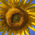 Sunflower by Steve Gravano