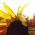 Sunflower Sunlight by Alanna DPhoto