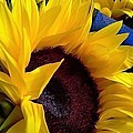 Sunflower Sunny Yellow In New Orleans Louisiana by Michael Hoard
