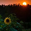 Sunflower Sunset by Cheryl Baxter