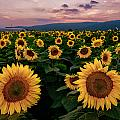 Sunflower Sunset II by Mark Robert Rogers