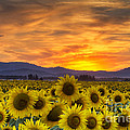 Sunflower Sunset by Mark Kiver