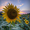 Sunflower Sunset by Michael Donahue