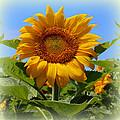 Sunflower Sunshine by Betty Northcutt