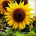 Sunflower Sunshine by Sheri Nelson