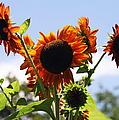 Sunflower Symphony by Karen Wiles