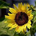 Sunflower by Tara Potts