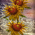 Sunflower Trio by Debra and Dave Vanderlaan