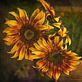 Sunflower Trio by Priscilla Burgers