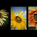 Sunflower Trio  by Susan McMenamin
