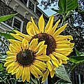 Sunflower Under The Gables by Alice Gipson