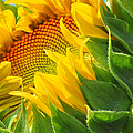 Sunflower Unfolding  by Regina Geoghan