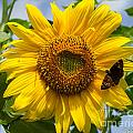Sunflower With Butterfly by Sue Karski