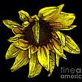 Sunflower With Contours Effect by Rose Santuci-Sofranko