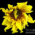 Sunflower With Curlicues Effect by Rose Santuci-Sofranko