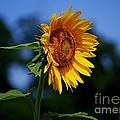 Sunflower With Honeybee by Catherine Sherman