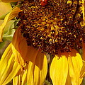 Sunflower With Ladybug by Christiane Schulze Art And Photography