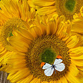 Sunflower With White Butterfly by Garry Gay