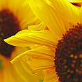 Sunflower Yellow by Greg Brown
