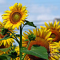 Sunflowers 1 2013 by Edward Sobuta