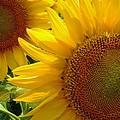 Sunflowers #1 by Robert ONeil