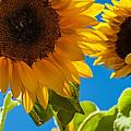 Sunflowers 2 by Dasmin Niriella