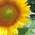 Sunflowers #2 by Robert ONeil