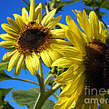Sunflowers Abound by Deborah Fay